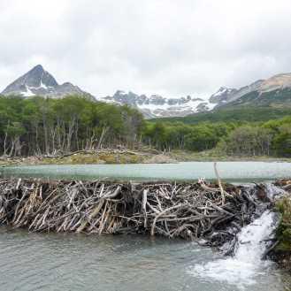 The beaver dams