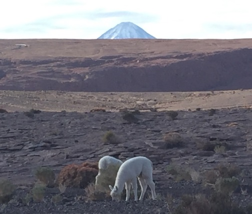 Baby llamas hanging out in front of the volcano