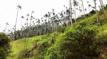 The wax palms that Colombia is famous for